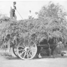 Photo:Henry Parcell's hay cart - there's a horse under there somewhere!