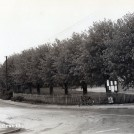 Photo:Lime Trees 1950s